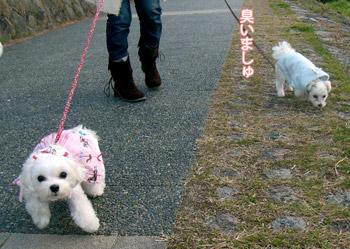 白い小悪魔-河原をお散歩