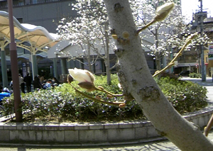 白い小悪魔-木蓮の花