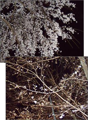 白い小悪魔-夜桜