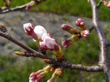 白い小悪魔-近くの桜は・・・