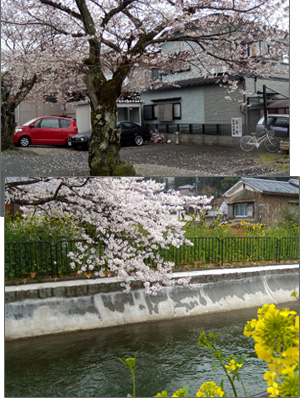 白い小悪魔-桜